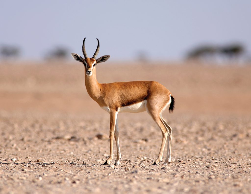 Al Wusta Arabian Gazelle in Al Wusta