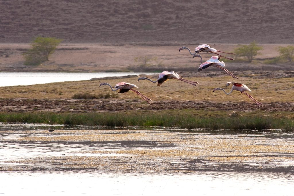 Flamingos Khawr Ruri Dhofar