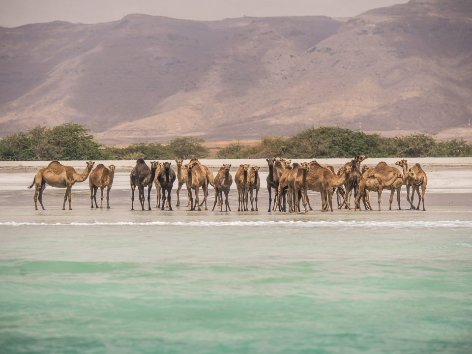 Wildlife Camels on the beach Salalah Dhofar Oman 1
