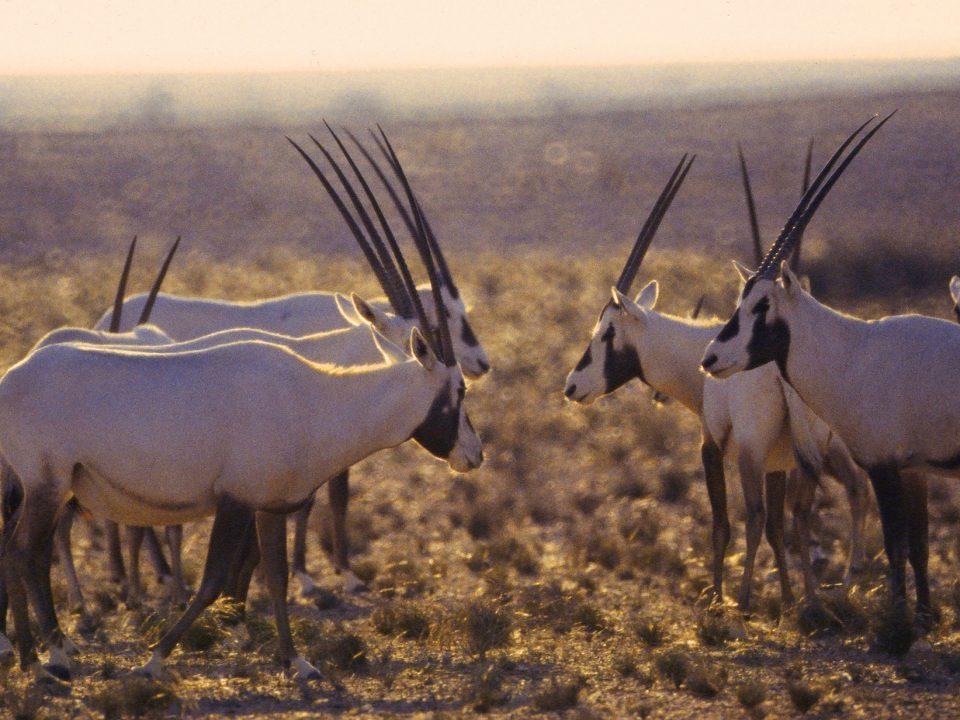 Wildlife Herd of Araban Oryx in Al Saleel National Park Ash Sharqiyah Oman